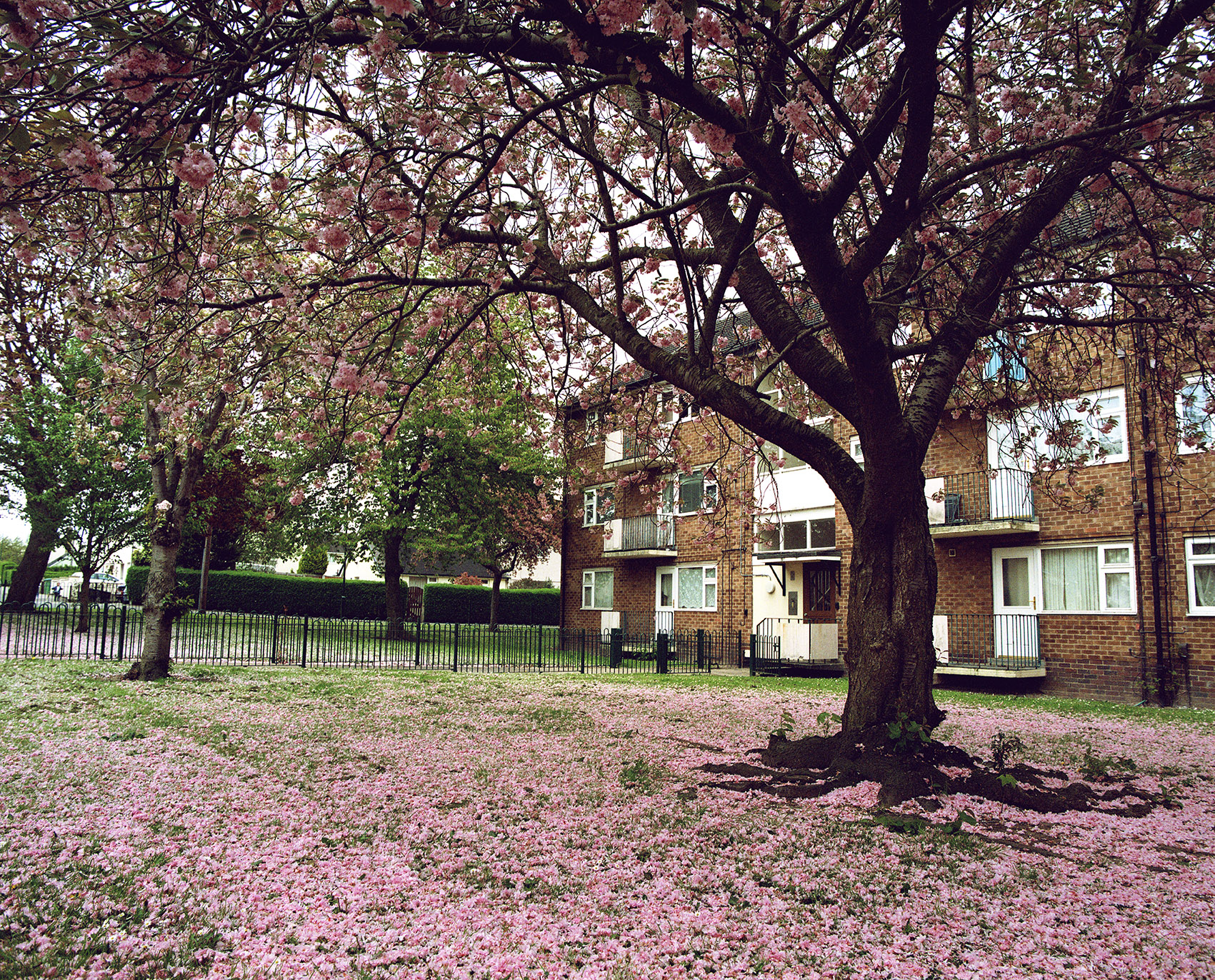 Image of a small block of flats with a tree outside and blossom on the ground